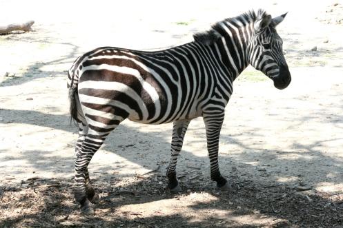 A Zebra, of Course!