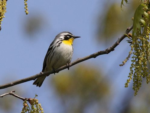 Yellow-throated Warbler source