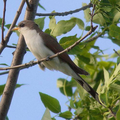 Yellow-billed Cuckoo Source