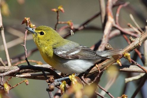 Yellow-throated Vireo source